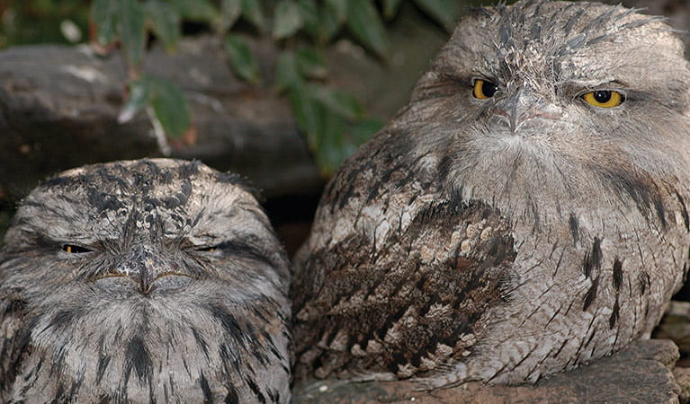 Tawny frogmouth. Photo: Simone Cottrell