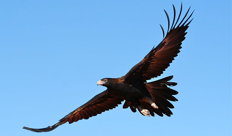 Wedge-tailed eagle. Photo: Kelly Nowak