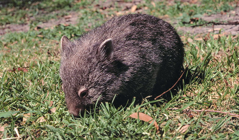 Common wombat. Photo: Keith Gillett