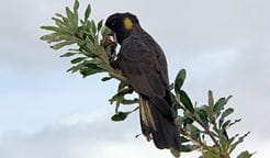 Yellow-tailed black cockatoo. Photo: Peter Sherratt