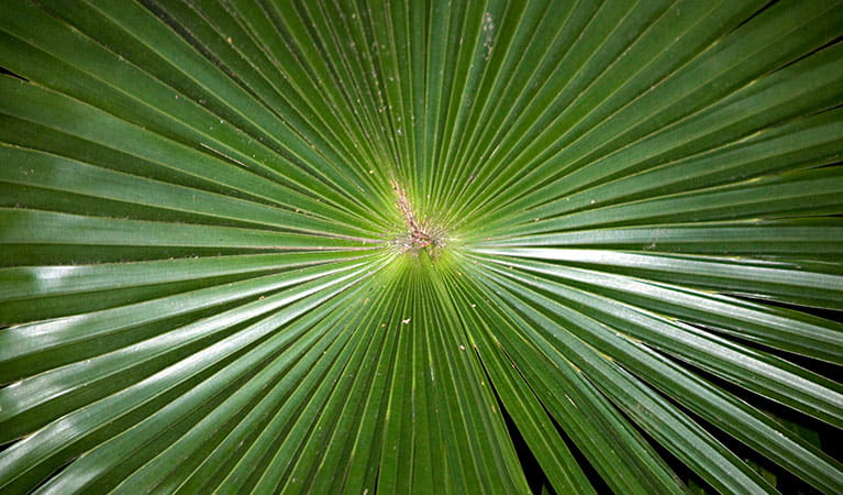 Cabbage tree palm, Budderoo National Park. Photo: Rosie Nicolai