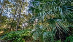 Cabbage tree palm in Dalrymple-Hay Nature Reserve. Photo: John Spencer/OEH
