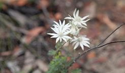 Flannel flowers in Wollemi National Park. Photo: Rosie Nicolai/OEH