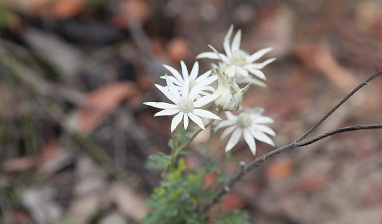 Flannel flowers in Wollemi National Park. Photo: © Rosie Nicolai