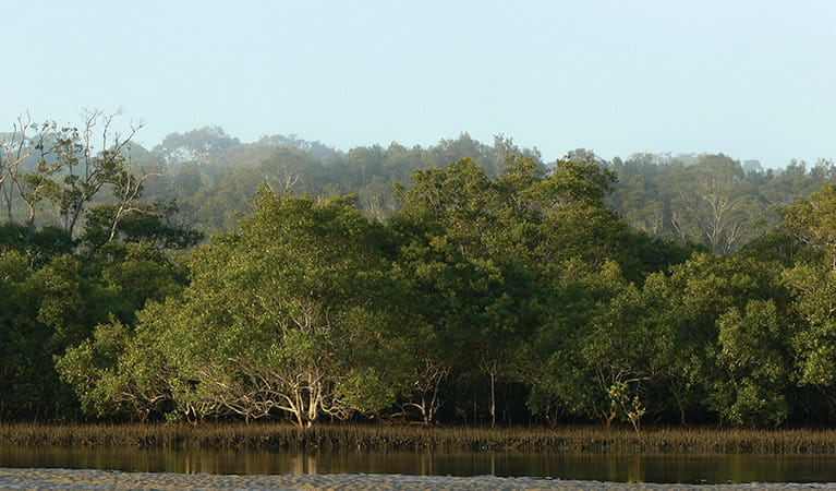 Grey mangrove. Photo: Shane Rumming
