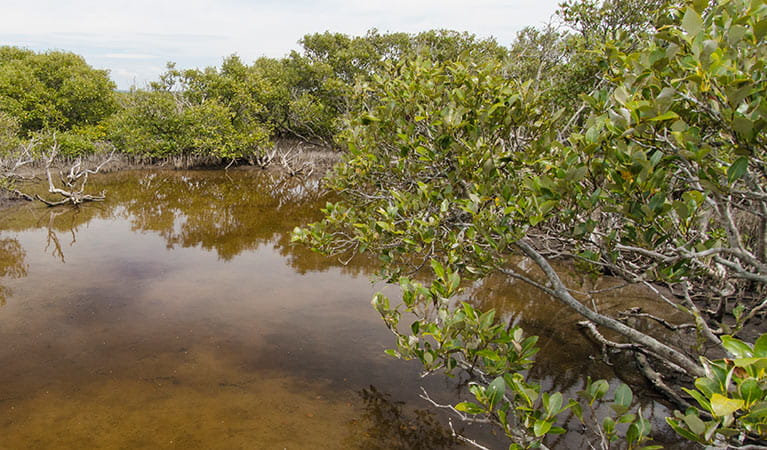 Grey mangrove, Towra Point Nature Reserve. Photo: John Spencer