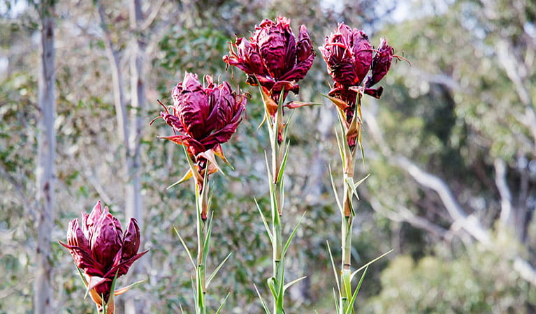 Gymea lily. Photo: Simone Cottrell