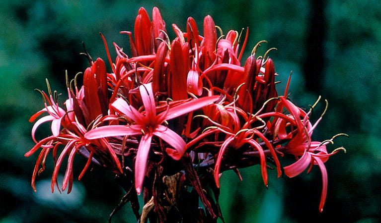 Gymea lily. Photo: Jaime Plaza