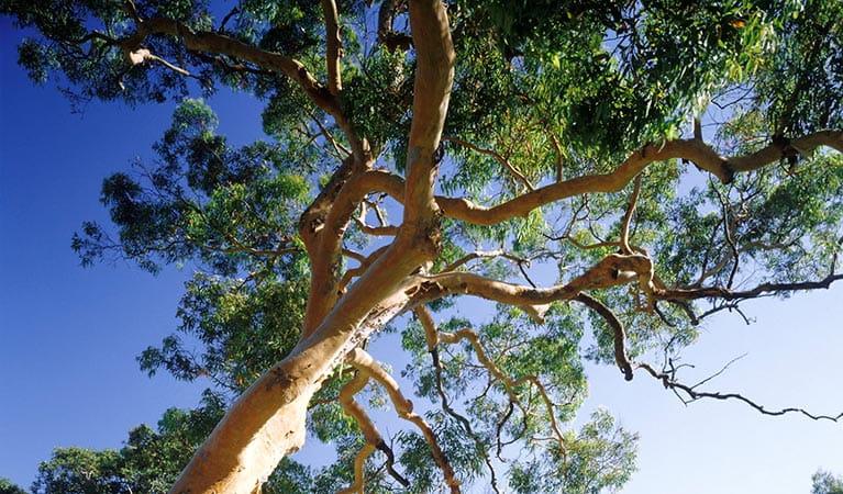 Smooth barked apple australian native plants nsw national parks smooth barked apple mightylinksfo