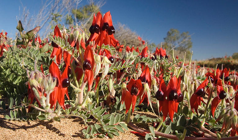 Sturt's desert pea. Photo: Jaime Plaza