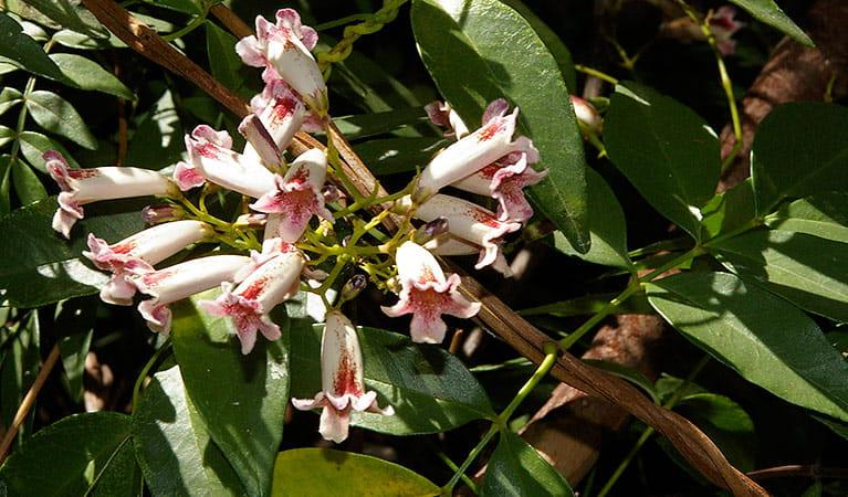 Wonga Wonga Vine Australian Native Plants Nsw National