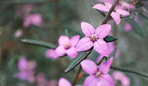 Close-up photograph of a boronia flower in Garigal National Park. Photo: Noah Strammbach