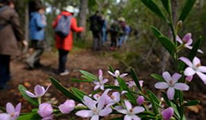 Group of bushwakers passing spring wildflowers at Muogamarra Nature Reserve. Photo: Elinor Sheargold/DPIE