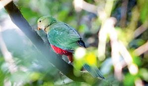 Bird in the trees in Dorrigo National Park. Photo: Rob Cleary/Seen Australia