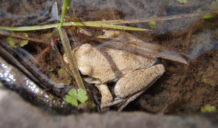 Abercrombie Frog, Abercrombie National Park. Photo: NSW Government