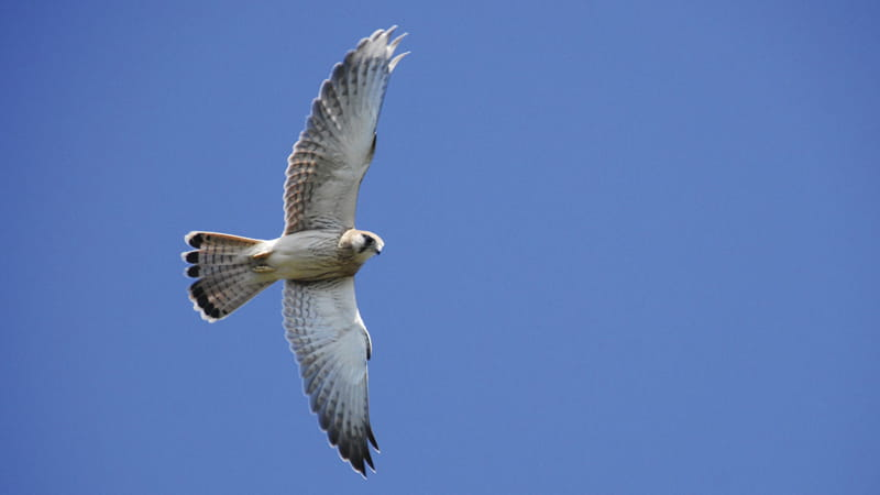 Australasian or Nankeen kestrel in flight. Photo: Stuart Cohen/OEH