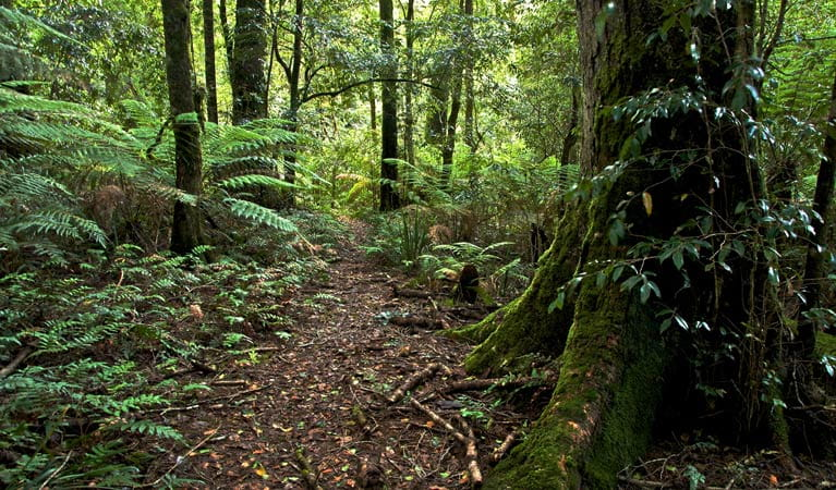 Antarctic Beech Forest track, Barrington Tops National Park. Photo: John Spencer