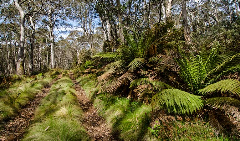 Fern-lined forest track along Barrington 4WD trail in Barrington National Park. Photo: John Spencer/OEH