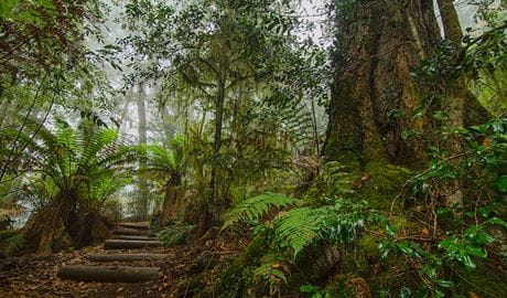 Honeysuckle Forest track, Barrington Tops National Park. Photo: John Spencer/NSW Government