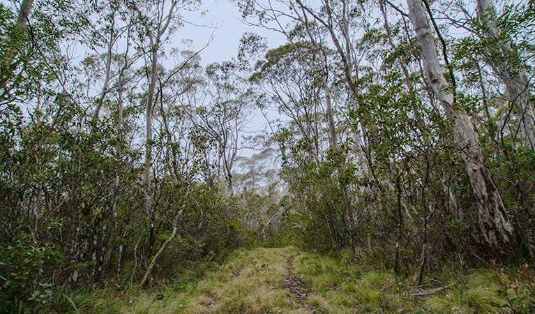 Link trail, Barrington Tops National Park. Photo: John Spencer/NSW Government