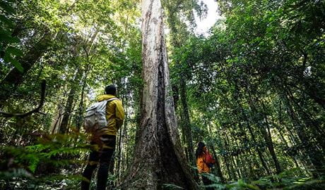 A couple look up at tall rainforest trees in Barrington Tops. Photo: Robert Mulally/OEH