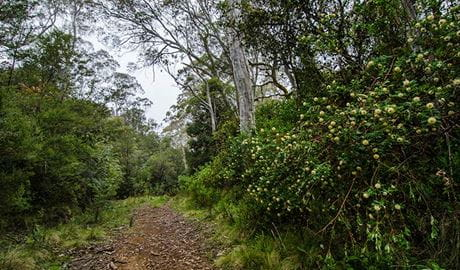 The Corker trail, Barrington Tops National Park. Photo: John Spencer/NSW Government