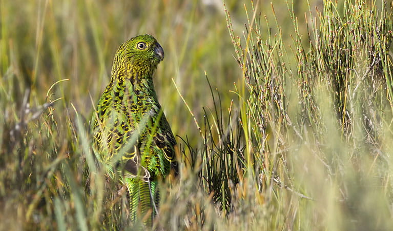 An eastern ground parrot blends into grassland. Photo: Lachlan Hall/DPIE