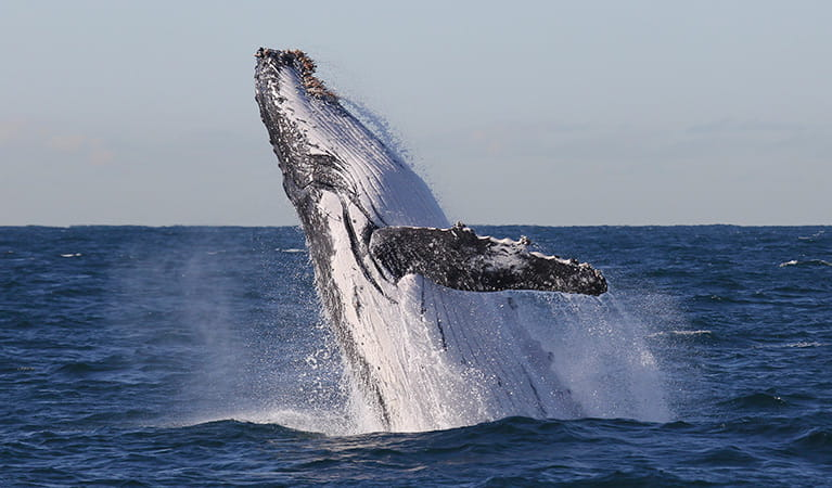 Humpback whale breaching. Photo: Jonas Liebschner/DPIE