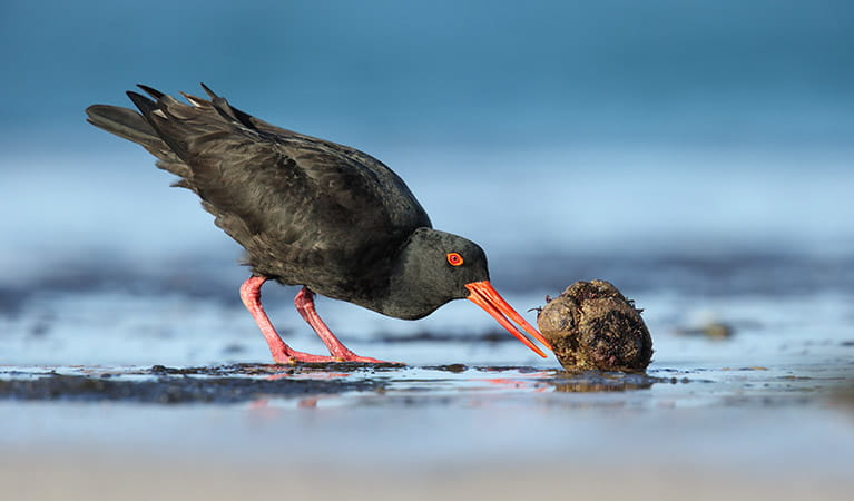 A sooty oystercatcher on the beach in Ben Boyd National Park. Photo: Leo Berzins/DPIE