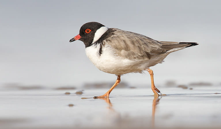 A hooded plover walking on the sand in Ben Boyd National Park. Leo Berzins/DPIE