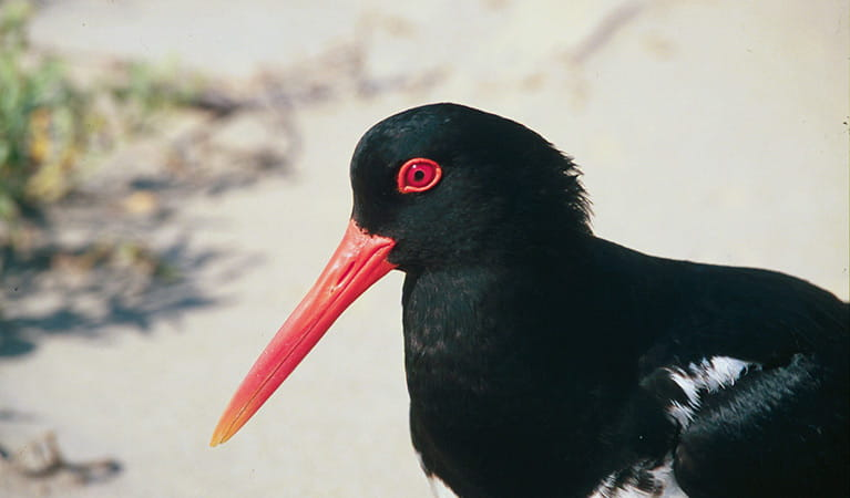 Pied oystercatcher. Photo: Michael Jarman/DPIE