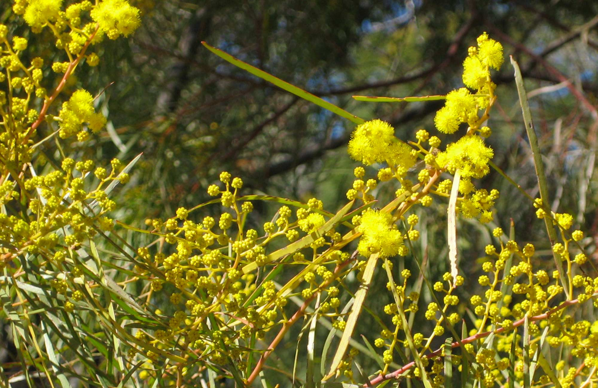 Wattle in bloom, Beni State Conservation Area. Photo: M Bannerman/NSW Government