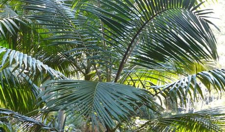 Bangalore Palm, Bindarri National Park. Photo: A Walton/NSW Government