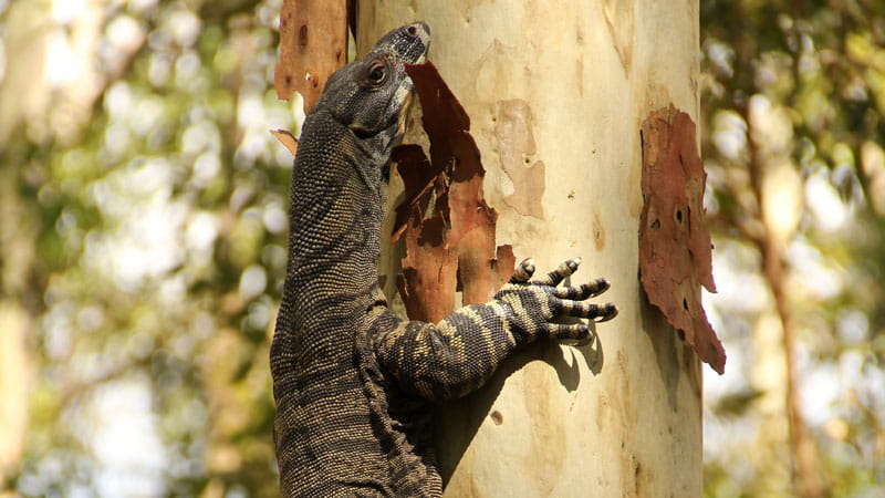 Lace goanna, Blue Gum Hills Regional Park. Photo: John Yurasek