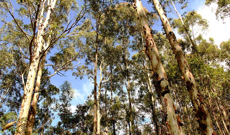 Goanna and gum trees, Blue Gum Hills Regional Park. Photo: John Yurasek