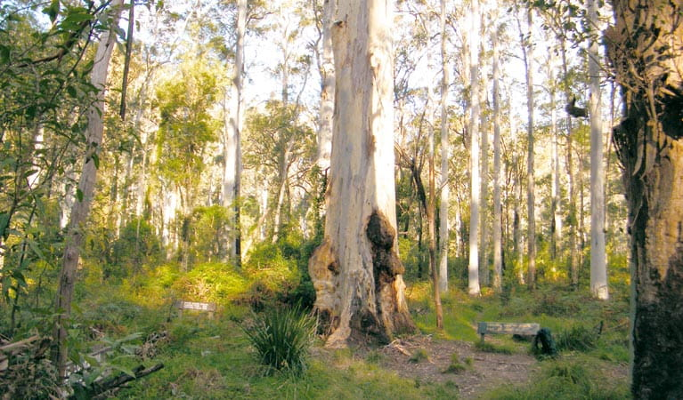 Blue Gum Forest, Blue Mountains National Park. Photo: Craig Marshall/NSW Government