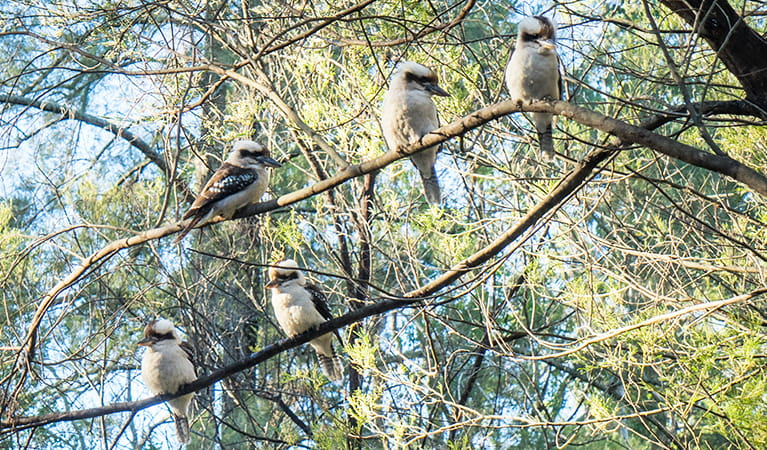 A flock of kookaburras watch over food from a tree branch in Euroka campground. Photo: OEH/Simone Cottrell