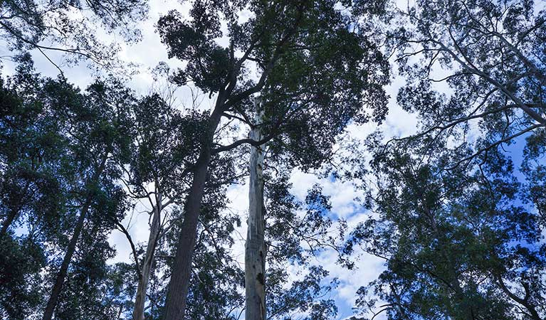 Looking up at tall gum tree forest canopy along Murphys Road, near Woodford, Blue Mountains National Park. Photo: Stephen Alton/OEH