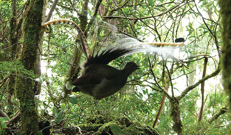 A male superb lyrebird displays his tail feathers. Photo: Helen Clark/OEH