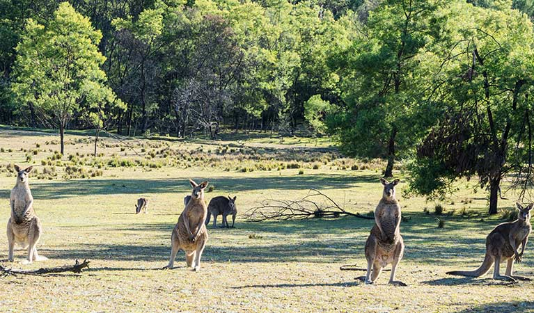 Kangaroos on the grassy flat at Kedumba River Crossing campground, Blue Mountains National Park. Photo: Simone Cottrell/OEH