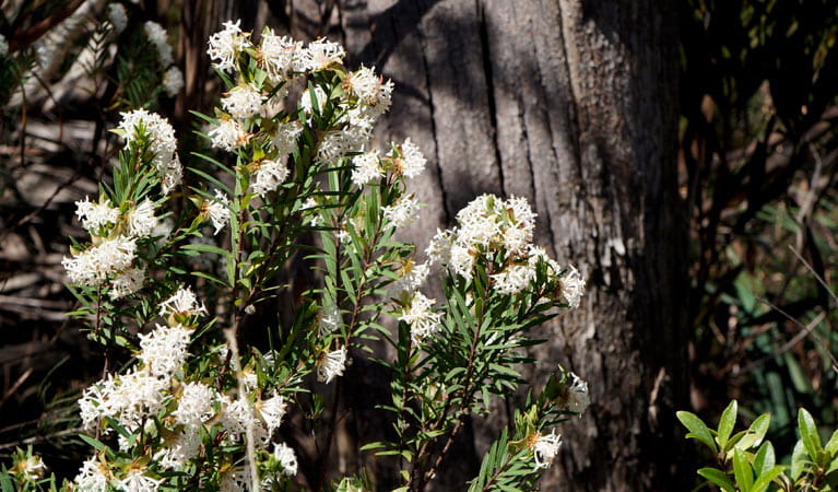 Pimelea wildlfower in the Blue Mountains. Photo: Steve Alton