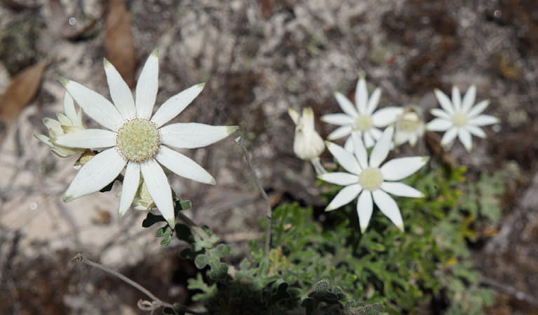 White flannel flowers bloom in Blue Mountains National Park. Photo: Stephen Alton/OEH