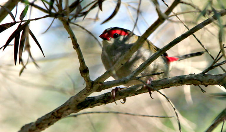 Red browed firetail, Blue Mountains National Park. Photo: Rosie Nicolai/OEH
