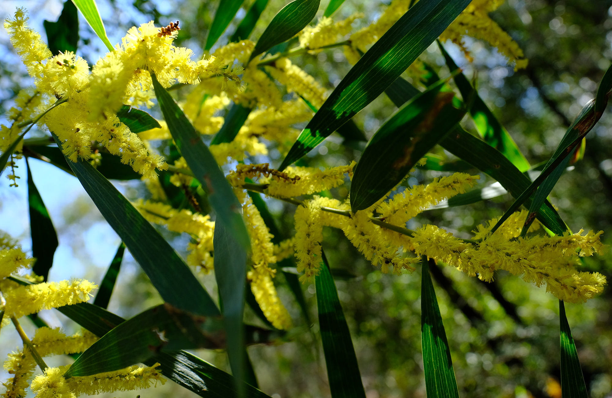 Flowering wattle, Burralow Creek, Blue Mountains National Park. Photo: Elinor Sheargold/OEH