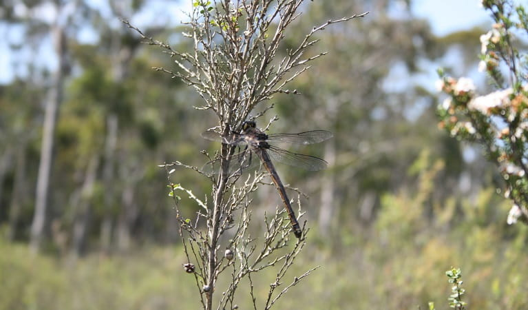Giant dragonfly on tea tree, Blue Mountains National Park. Photo: Huw Evans/OEH