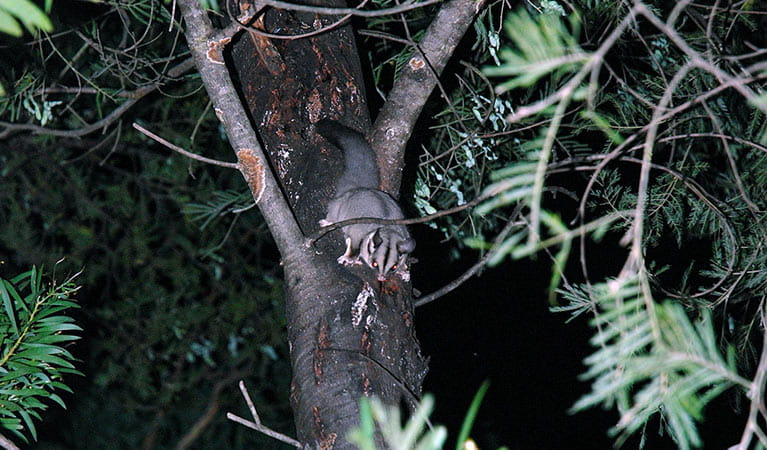 Squirrel glider, Greater Blue Mountains World Heritage Area. Photo: Jeff Betteridge/OEH.
