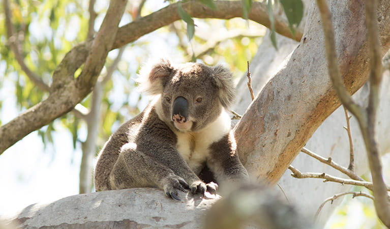 A koala sits on the branch of a eucalypt tree. Photo: John Turbill/DPIE