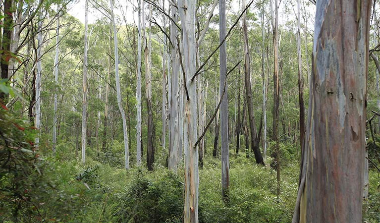 Forest of Blue Gum trees, Greater Blue Mountains World Heritage Area. Photo: Rosie Nicolai/OEH