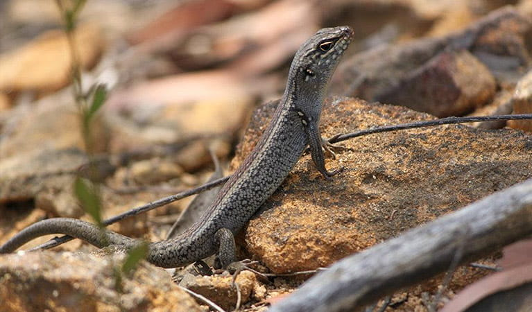 Lizard on rock along Mount Banks Road, Blue Mountains National Park. Photo: E Sheargold/OEH.