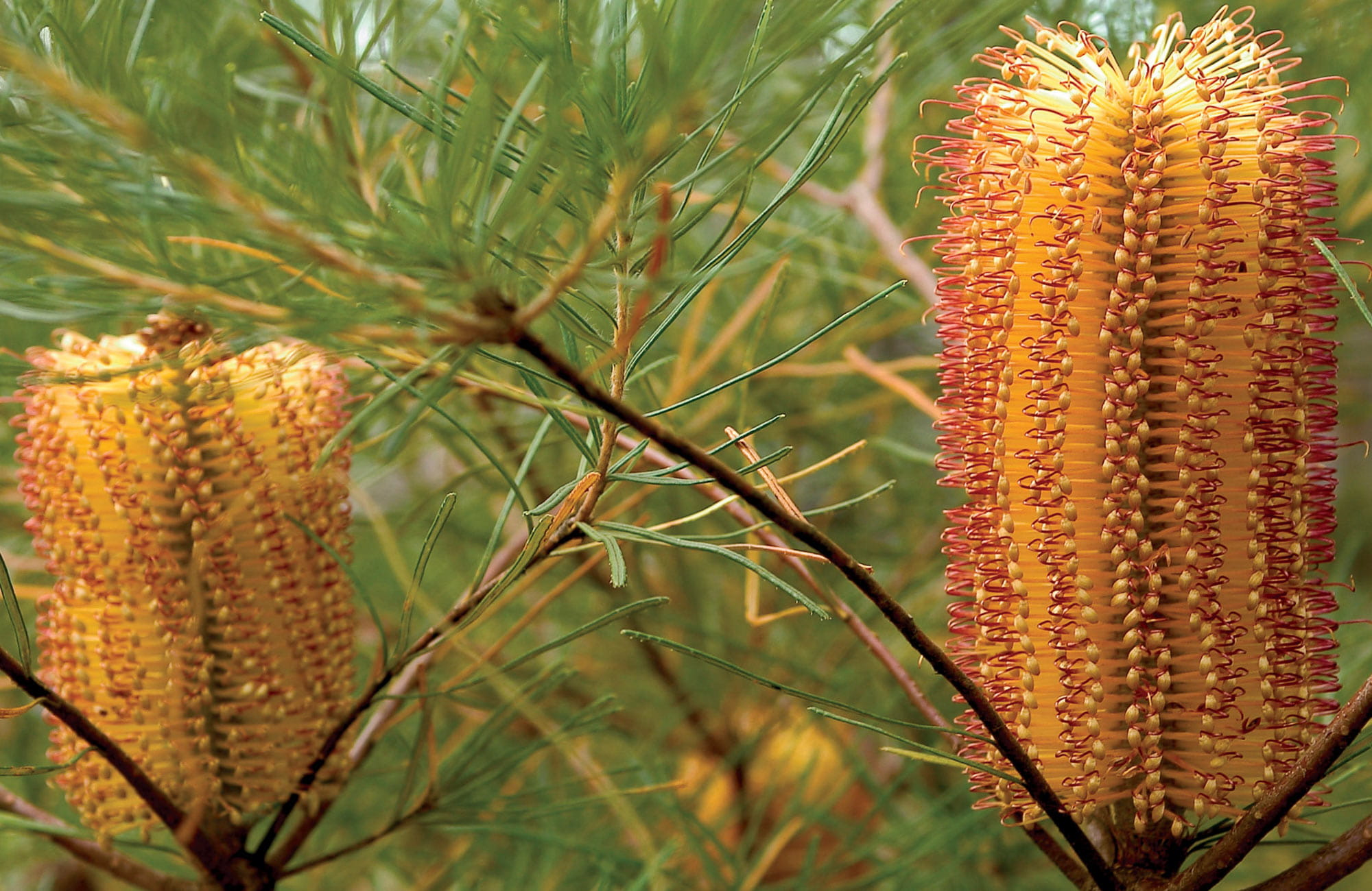 Banksia, Blue Mountains National Park. Photo: Michael Van Ewijk/OEH.